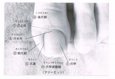 爪の構造写真